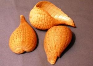 Ficus Ventricosa conch
