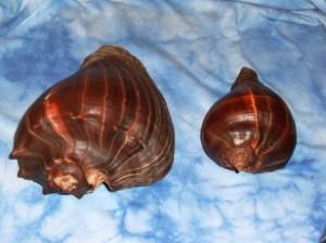 Melonga patula conch