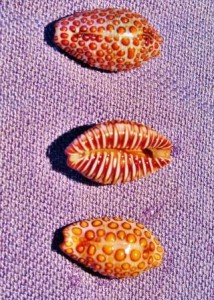 conch corner Buttow Cowrie