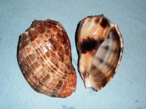 Conch Harp Shell 2 January 20 2013