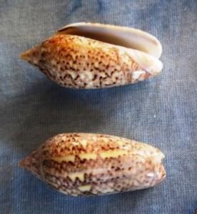 Oliva Spicata Cortez shell
