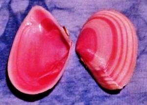 conch corner Rose Petal Tellin lineata