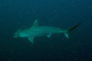 hammerhead dive report