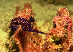 dive report jan 2014 Nudibranch_Sea Mt